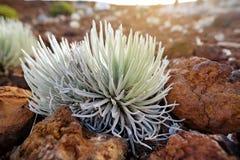 Haleakala silversword, högt utsatt för fara endemisk för blomningväxt till ön av Maui, Hawaii Argyroxiphiumsandwicensesubsp S Royaltyfri Foto