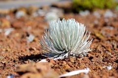 Haleakala silversword, högt utsatt för fara endemisk för blomningväxt till ön av Maui, Hawaii Argyroxiphiumsandwicensesubsp S Arkivbild