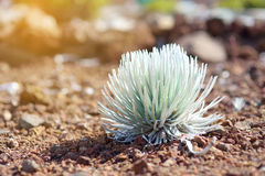 Haleakala silversword, högt utsatt för fara endemisk för blomningväxt till ön av Maui, Hawaii Fotografering för Bildbyråer