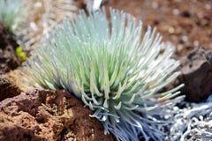 Haleakala silversword, högt utsatt för fara endemisk för blomningväxt till ön av Maui, Hawaii Arkivbild