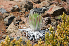 Haleakala Silversword, Hawaii Royalty Free Stock Image