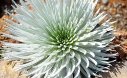 Haleakala silversword, highly endangered flowering plant endemic to the island of Maui, Hawaii. Argyroxiphium sandwicense subsp. s. Andwicense or Ahinahina in royalty free stock photo