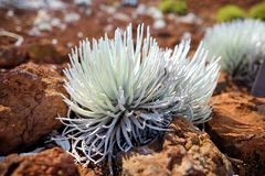 Haleakala silversword, highly endangered flowering plant endemic to the island of Maui, Hawaii. Argyroxiphium sandwicense subsp. s. Andwicense or Ahinahina in stock photo