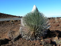 Haleakala volcano and silversword, Maui. Hawaii Royalty Free Stock Photos