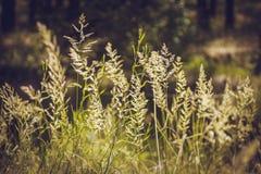 Halepense сорго стоковые фотографии rf