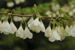 Halesiamonticola Royaltyfria Foton