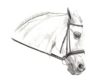 Half Arabian Pencil Drawing. A lovely Andalusian x Arabian graphite pencil drawing Royalty Free Stock Photo