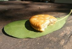 Half biscuit on green leaf for outdoor picnic Stock Image