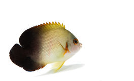 Half-black angel  marine fish on white background Stock Photos