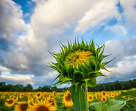 Half bloomed sunflower Royalty Free Stock Photos