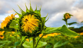 Half bloomed sunflower II royalty free stock image