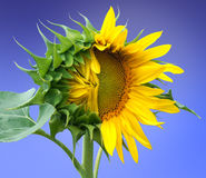Half blossomed sunflower on a blue background Stock Photo