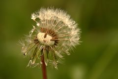 Half-blown dandelion with drops of dew stock images