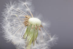 Half blown dandelion Royalty Free Stock Images