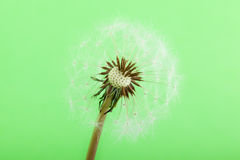 Half blown Dandelion Stock Image