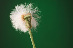 Half blown out white puffy dandelion seed head against dark gree. N background Royalty Free Stock Images