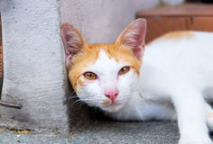 Half body a cute cat portrait Royalty Free Stock Photo