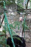 Half body front portrait of a large African ostrich in captivity. Staring at the observer behind the fence with masonry wall and foliage behind stock photos