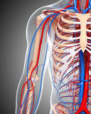 Half body Male Circulatory system Royalty Free Stock Images