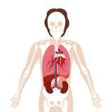 Half body man with inner organs and bones Royalty Free Stock Photography
