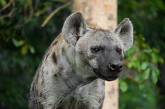Half body portrait of hyena. With forest background Royalty Free Stock Photo
