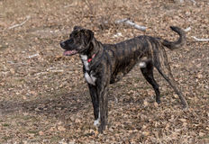 Half bred  brindle boxer portrait Royalty Free Stock Photos