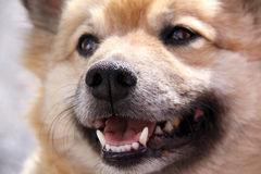 Half-breed dog. A half-breed dog in close up stock photos