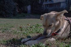 A half-breed dog plays free at the park, chases the ball, grabs it and brings it back.