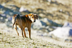 Half breed dog standing in field Stock Images