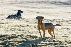 Half breed dogs in field Stock Photography