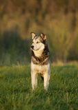 A half-breed husky dog in summer ivening field Royalty Free Stock Image