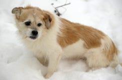 Half-breed lap dog Stock Photo