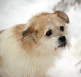 Half-breed lap dog Stock Photos