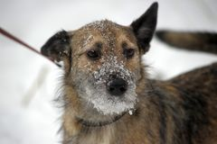 Half-breed lap dog Stock Images