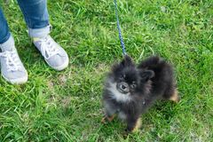 Half-breed of Pomeranian Spitz is walking on a grass with its owner, top view. royalty free stock images