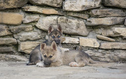 Half breed puppies. Half husky and other half wolf dog Stock Images