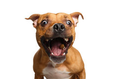 Half-breed Red Dog Catch treats. Funny Portrait of Half-breed Red Dog Catches treats with his opened mouth isolated on white background stock photo