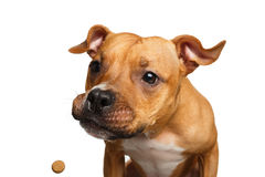 Half-breed Red Dog Catch treats. Funny Portrait of Half-breed Red Dog Catches treats with his opened mouth isolated on white background royalty free stock photos