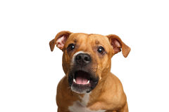 Half-breed Red Dog Catch treats. Funny Portrait of Half-breed Red Dog Catches treats with his opened mouth isolated on white background royalty free stock image