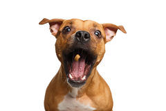Half-breed Red Dog Catch treats. Funny Portrait of Half-breed Red Dog Catches treats with his opened mouth isolated on white background royalty free stock images