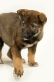 Half-breed shepherd puppy Royalty Free Stock Photography