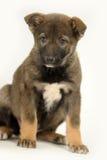 Half-breed shepherd puppy Royalty Free Stock Photo