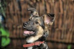 Half-breed shepherd puppy Royalty Free Stock Photos