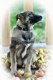 Half-breed shepherd puppy Royalty Free Stock Photos