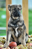 Half-breed shepherd puppy Royalty Free Stock Images