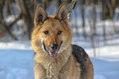 Beautiful dog on the background of a winter landscape Stock Photography