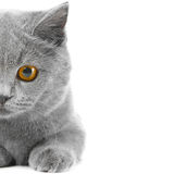 Half of British Blue kitten Royalty Free Stock Photos