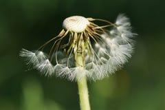 Half broken dandelion. Stock Photo