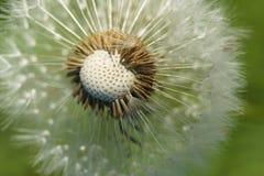 Half broken dandelion. Stock Photos