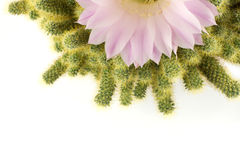Half of cactus flower, isolated. Echinopsis flower and mammillaria cactus, white background Stock Photos